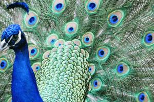 Male Peacock